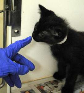 A shelter staff member interacts with an inquisitive, jet-black kitten. (Christina Kelso/ The Florida Times-Union)