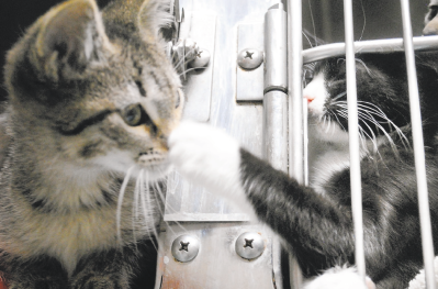 As one resident of Kitten University leans out of his cage during feeding time, his curiosity confronts the paw of a cage-side companion. (Christina Kelso/ The Florida TImes-Union)
