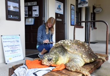 Kirby Jones of St. Augustine Eco Tours watches over a nearly 400 pound loggerhead sea turtle found floating, lethargic and severely emaciated, near the St. Augustine Municipal Marina on Thursday morning, February 23, 2017. The marina reported the turtle, which is estimated to be 60 to 100-years-old, to St. Augustine Eco Tours, which operates under a permit to respond to injured wildlife in the immediate area. It took five people to lift the turtle out of the water and bring it to shore. They then called the Florida Fish and Wildlife Conservation Commission, who arranged for the animal to be picked up and brought to SeaWorld Orlando. Shortly after the animal was found, FWC received a call to pick up a second turtle, a smaller green sea turtle, found floating in the water near The Conch House Marina. Both animals were then transported to SeaWorld in Orlando for rehabilitation. (Christina Kelso/ The St. Augustine Record)