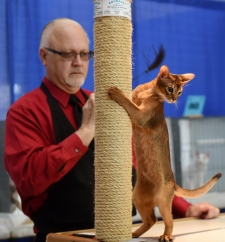 Rob Seliskar judges four-month-old abyssinian, Blueriver Copy Cat, in the first day of the Ancient City Cat Club's second annual Cat Show at the Solomon Calhoun Community Center on Saturday, February 25, 2017. (Christina Kelso/ The St. Augustine Record)