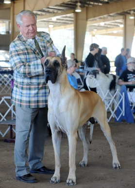 Doug Toomey from North Carolina shows Great Dane Odin in the first day of the Greater Orange Park Dog Club All-Breed Dog Show on Saturday, April 8, 2017. Odin won a first place blue ribbon in the Working Group competition. More than 850 dogs are competing in the weekend event, which continues today from 8:00 a.m. to 5:00 p.m. Admission is free for spectators. Parking is $5.00 per vehicle. (Christina Kelso/ The St. Augustine Record)